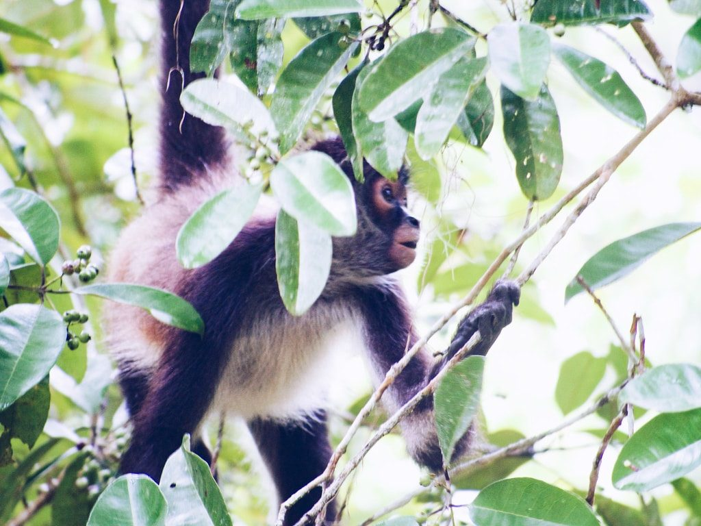 Tikal - Guatemala - singe