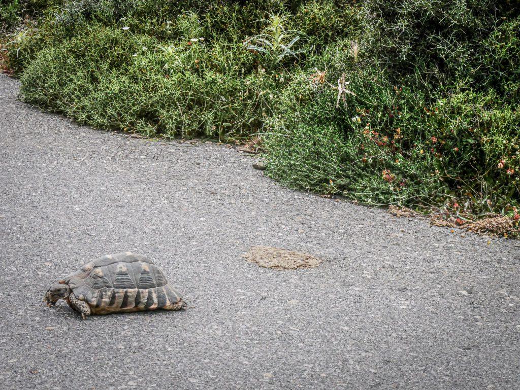 Le Magne - Grèce - tortue