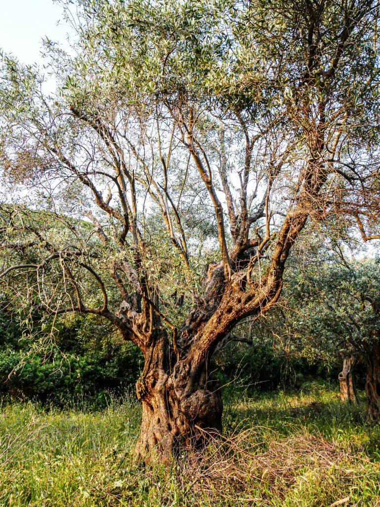 Pélion - olivier