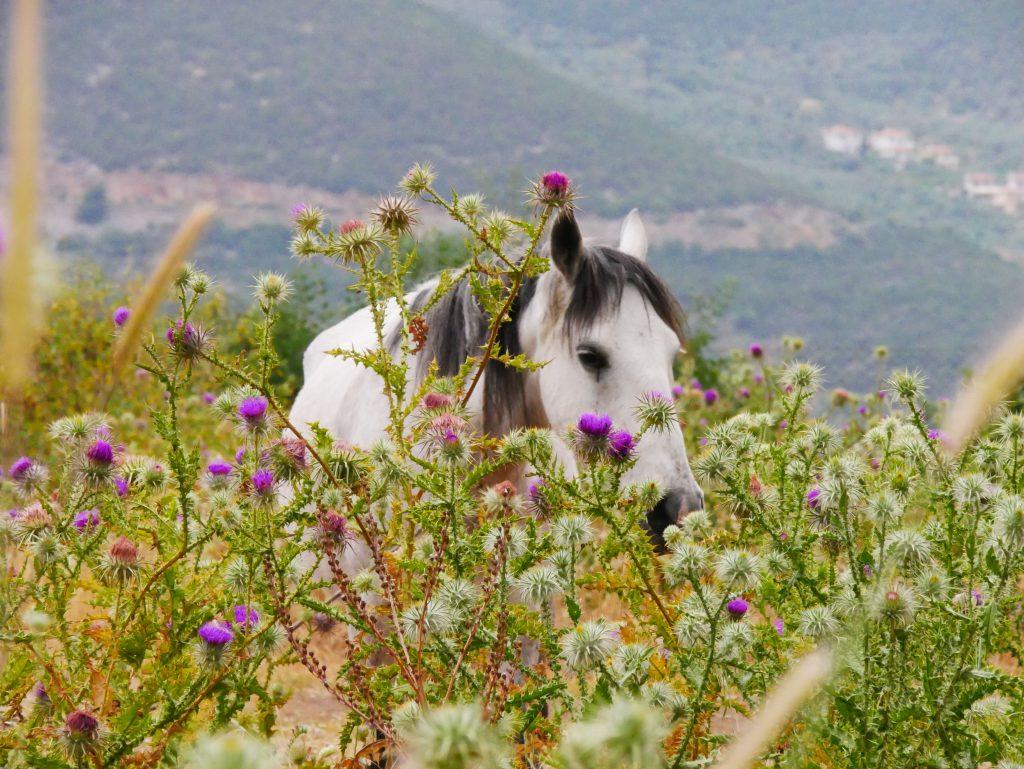 Cheval dans un champs du Péloponnèse